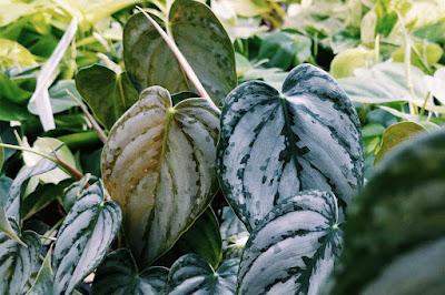 variegata, tanaman variegata, bunga variegata