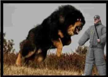 Top 10 fierce dog breeds