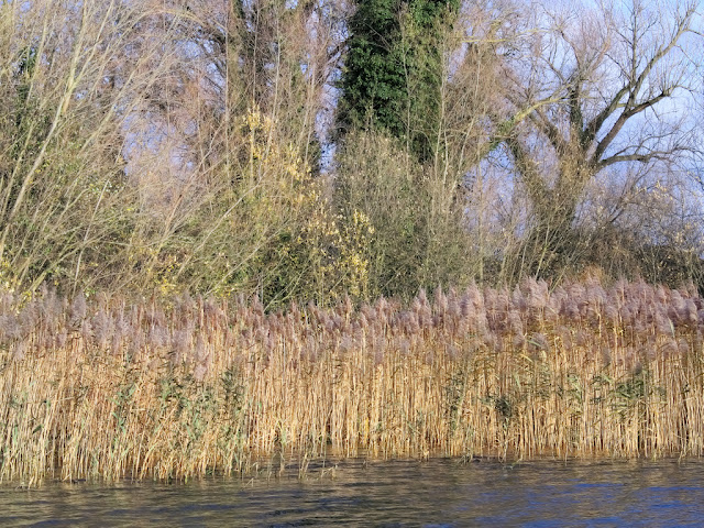 Reed bed with brown reeds