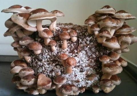 cara budidaya jamur shiitake, budidaya jamur shiitake, budidaya jamur shiitake di daerah panas, budidaya jamur shiitake untuk pemula, budidaya jamur shiitake youtube, budidaya jamur shiitake modern