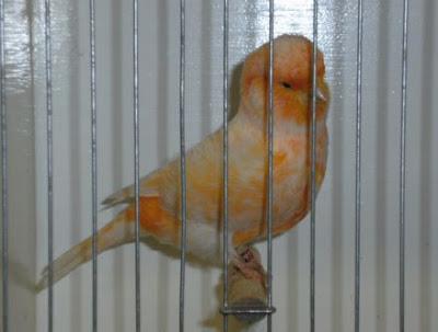Burung Kenari Asal Australia : Australian Plainhead