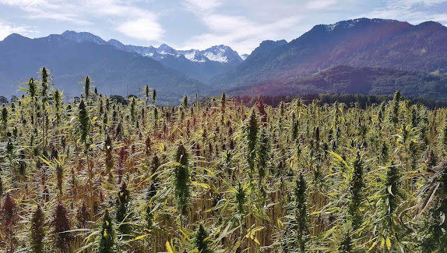 Origins of cannabis traced back 28 million years to Tibetan Plateau