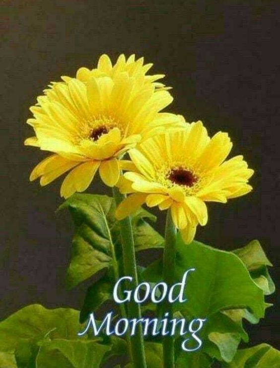 beautiful good morning with sunflowers