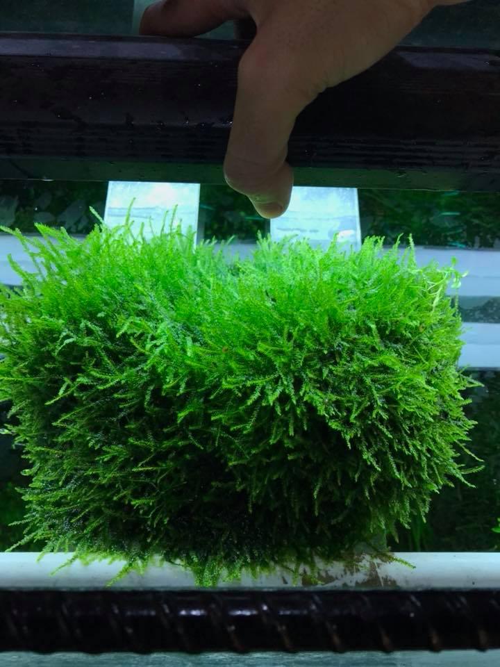 Rêu thủy sinh Java trong hồ của bạn Ci Bi