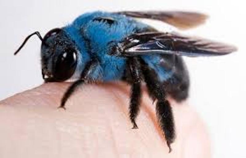 Dikenal dengan Calamanta Biru, Seekor Lebah yang Langka Kembali Ditemukan