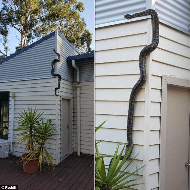 Shocking moments man finds huge python climbing to the roof of his house