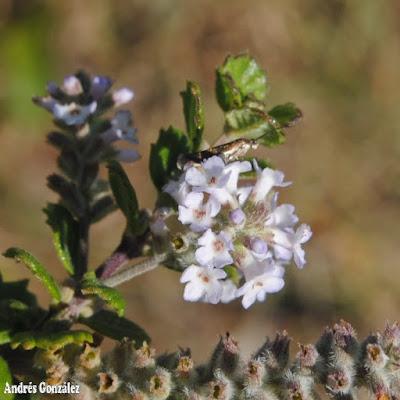 flores de Aloysia chamaedryfolia