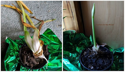 dormont amaryllis blooming