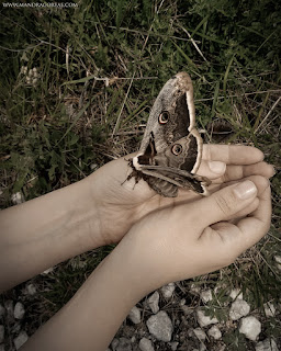 Saturnia Pyri Moth, Emperor Moth, Polilla Gran Pavón