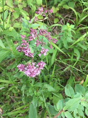 [Lamiaceae] Origanum vulgare – Oregano (Origano comune).