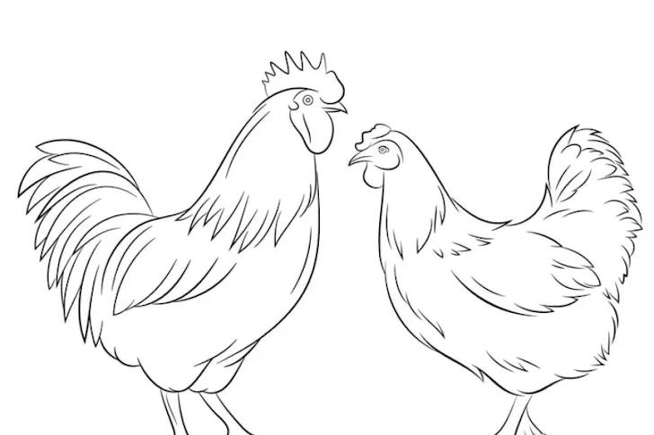15+ Sketsa Gambar Ayam Yang Mudah