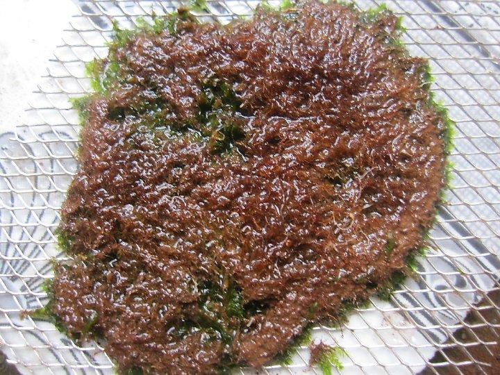 kinh nghiệm xử lý mini fiss thủy sinh bám đất lá cạn -  fiss đã được làm sạch