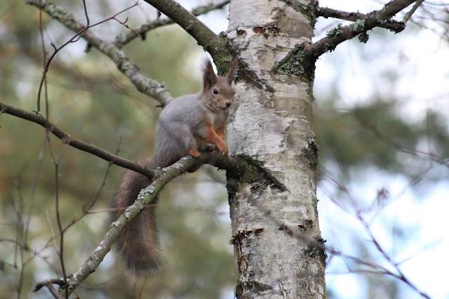 Orava oksalla