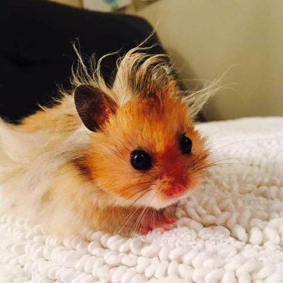 Cara Mudah Ternak Hamster di Rumah Bagi Pemula