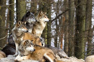 lupi de Carpați
