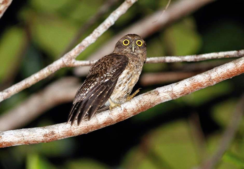 Búho halcón de Togian: Ninox burhani