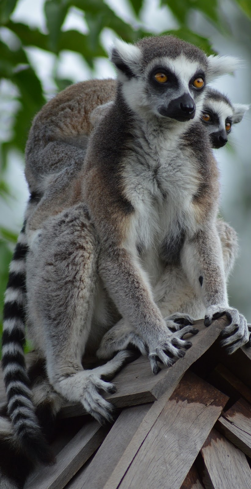 Lemur mother and child.