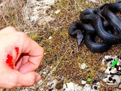 На Бориспільщині отруйна змія вкусила дитину