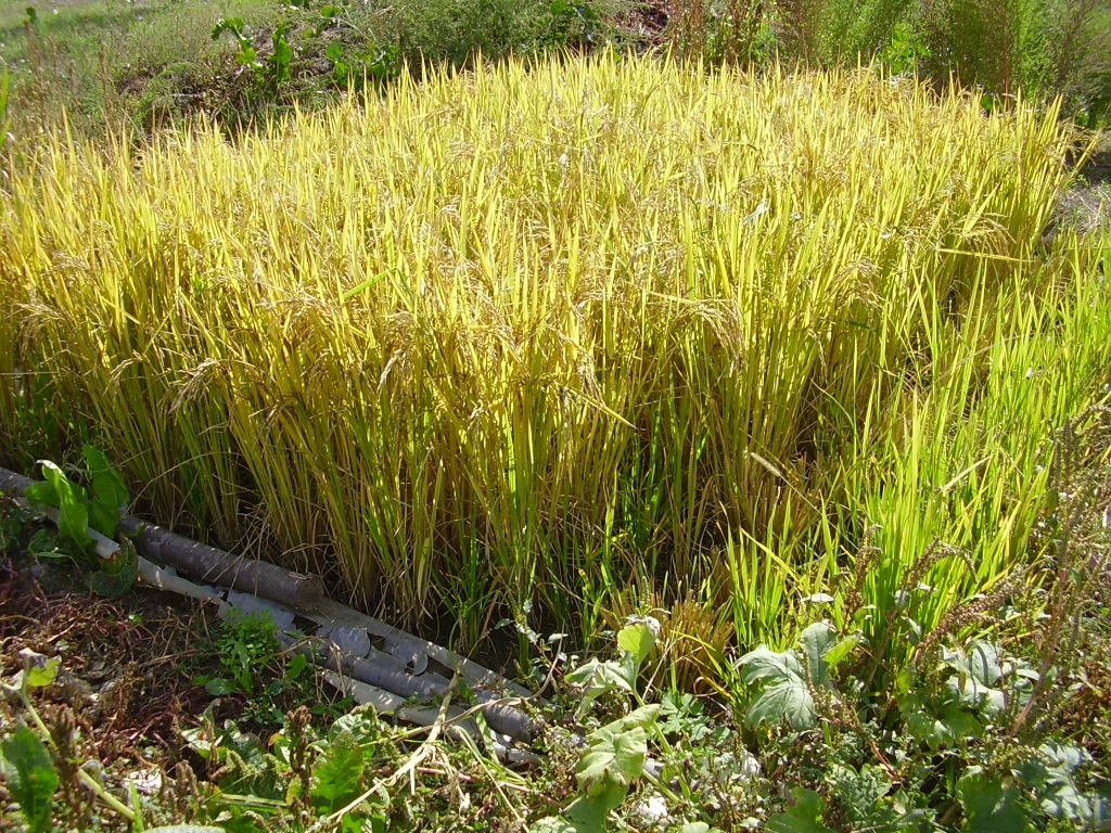 Rice planting diary - In Between  Rice planting d...