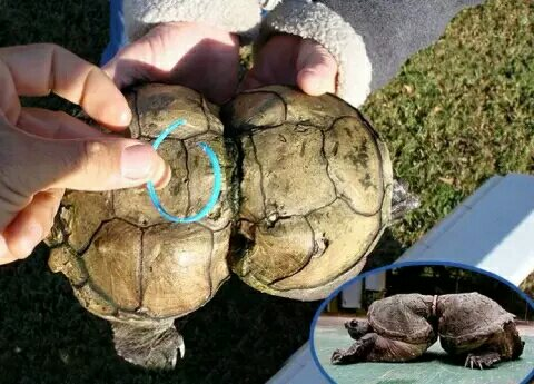 Turtle Misshapen Due to Being Caught in Rubber Band for 19 Years