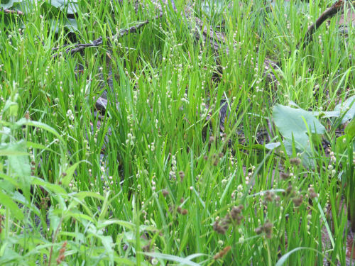 common bur reed