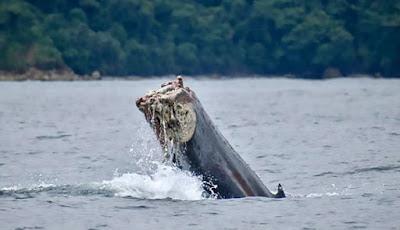 Ekor paus bungkuk yang terpotong