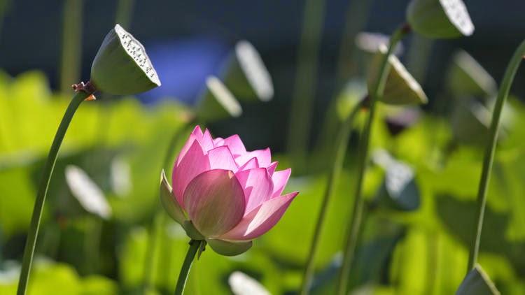 Wisdom Quarterly American Buddhist Journal 34th Lotus Festival