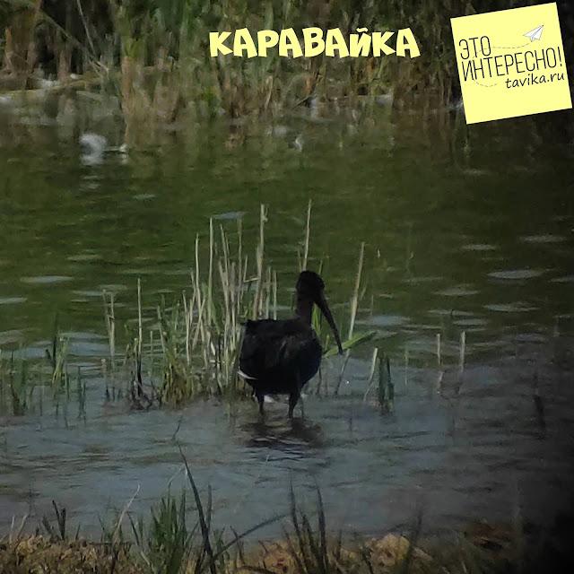 каравайка на озере Кызыл Яр, Крым