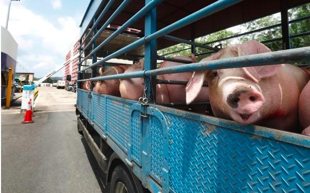 Lagi,Kasus Kedua Demam Babi Afrika ditemukan di Hong Kong, 4.700 Babi Akan dimusnahkan, Rumah potong di Tutup