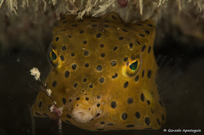 A photo of the yellow boxfish at the dive spot Koh Haa