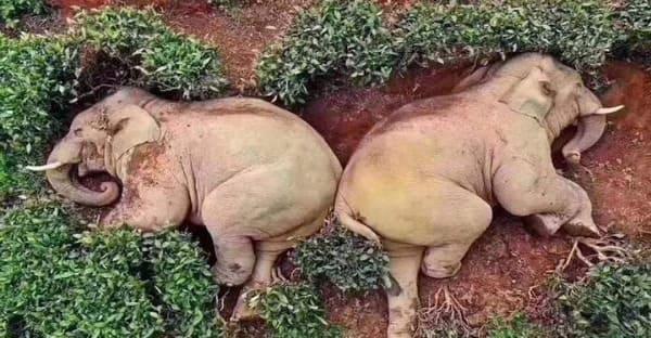 Elefantes ebrios