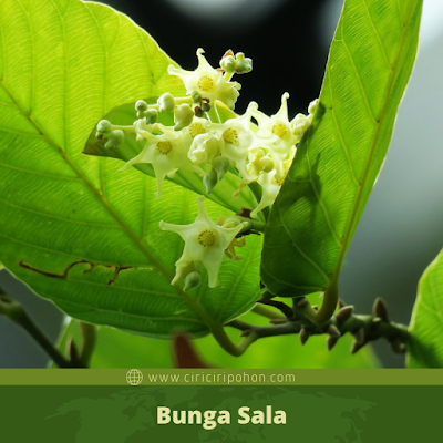 Bunga Sala