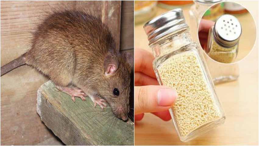 Tikus Sedang Makan Keju Di Dapur Desainrumahid
