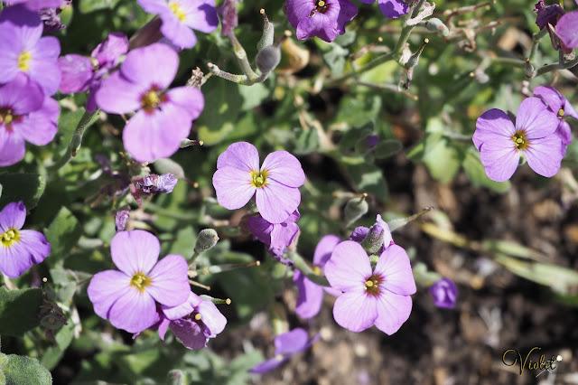 Mottisfont flowers