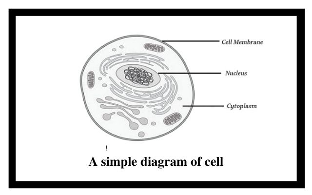 A simple diagram of cell