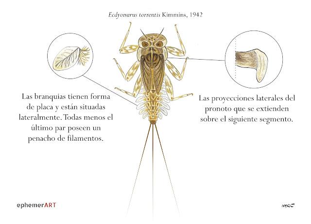 Ecdyonurus%2Btorrentis%2Bninfa - Heptagénidos: como diferenciar géneros