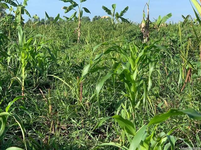 Lý do cỏ dại chính là cứu tinh cho nông nghiệp