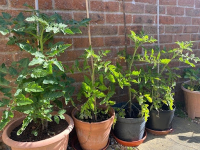 Tomato plants growing in pots against wall