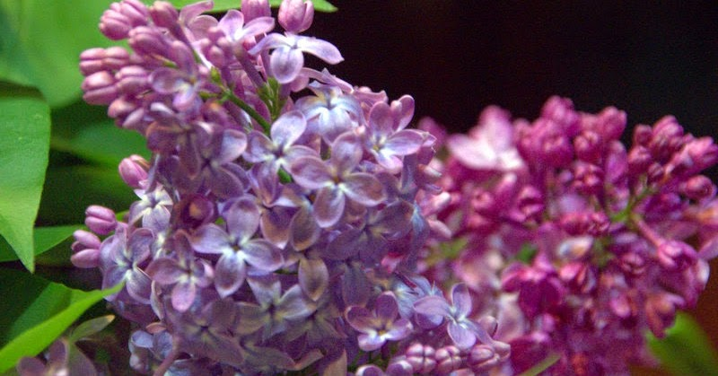 Regards et vie d 39 auvergne le blog sur l 39 auvergne les lilas - Quand tailler les lilas ...