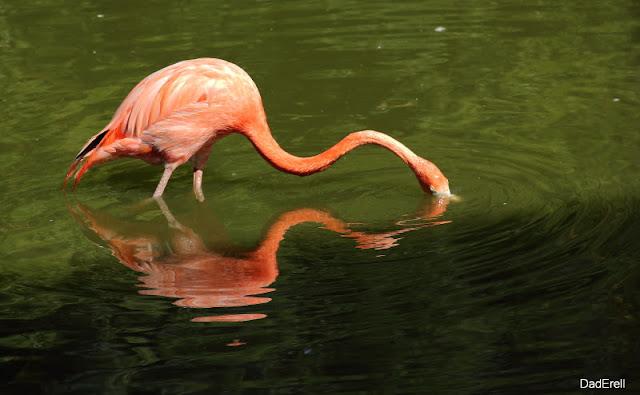 Flamant rose, Parc des Oiseaux de Villars-les-Dombes