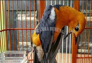 Tips Memilih Masteran Burung yang Tepat lengkap dengan waktunya