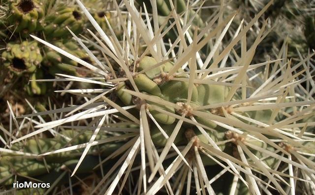 CACTUS DE ARIZONA Cylindropuntia tunicata, abrojo, coyonoxtle, clavellina, perros