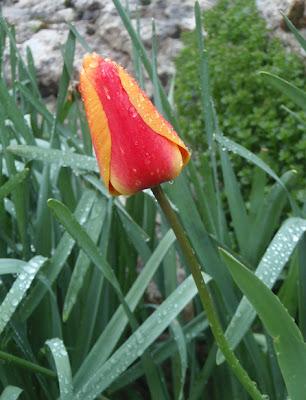 Tulipanes en una rocalla