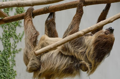 a sloth hanging upside down on a tree branch