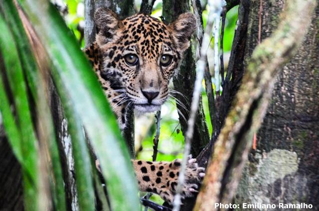 Onça Jaguar na Amazônia em foto de Emiliano Ramalho