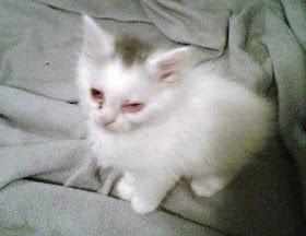 kitten with pink eye feline conjunctivitis