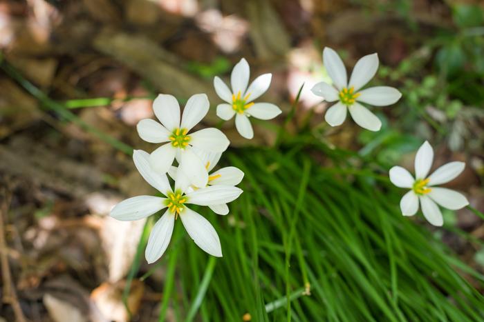 6 petal white flower