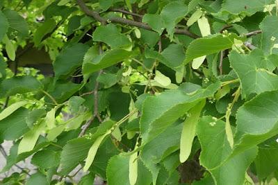 Lindenblätter und Lindenblüten