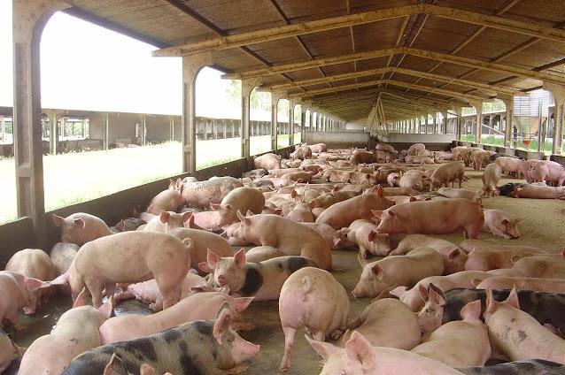 Adagro alerta sobre foco de peste suína no Piauí