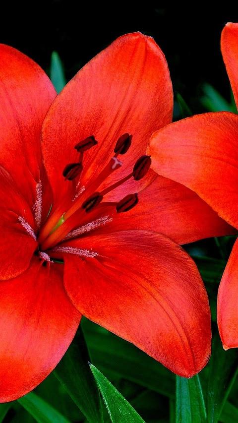 Hoa huệ đỏ